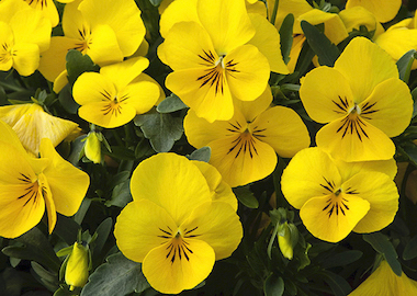 Pansy Freefall XL Bright Yellow Earley Ornamentals