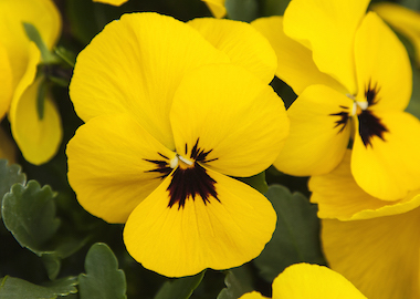 Pansy Freefall XL Yellow Blotch Earley Ornamentals