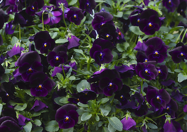 Pansy Freefall Deep Violet Earley Ornamentals