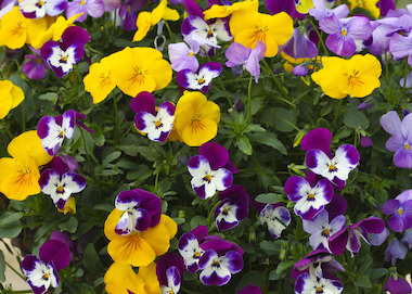 Pansy Freefall Mix Earley Ornamentals