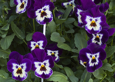 Pansy Freefall XL Purple Face Earley Ornamentals