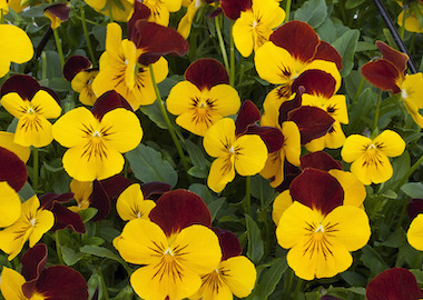 Pansy Freefall XL Red Wing Earley Ornamentals