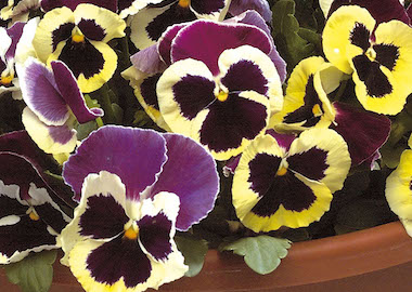 Pansy Power Patricia Earley Ornamentals