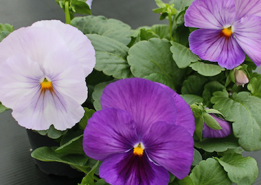Pansy Premier Autumn Lavender Shades Earley Ornamentals