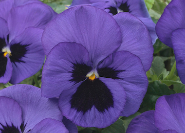 Pansy Premier Blue Blotch Earley Ornamentals