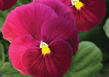 Pansy Premier Clear Rose Earley Ornamentals