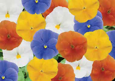 Pansy Premier F1 Clear Spring Mix Earley Ornamental