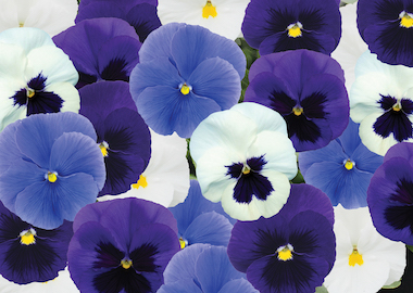 Pansy Premier F1 Cool Blues Mix Earley Ornamental