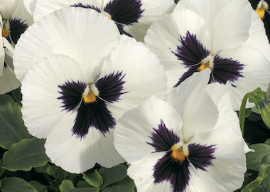 Pansy Power White Blotch Earley Ornamentals