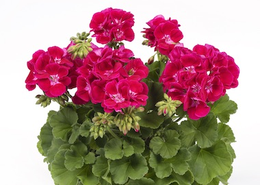 Geranium Pac Flower Fairy Red Splash Earley Ornamentals