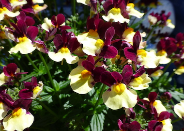 Aroma Heart of Gold Earley Ornamentals