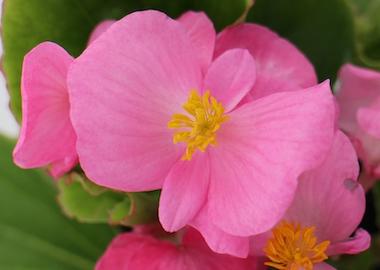Begonia Ambassador pink Earley Ornamentals