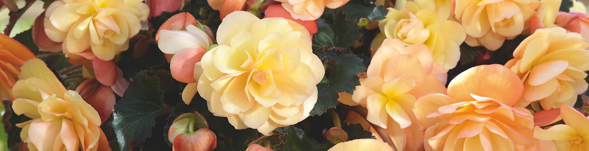 Begonia Fragrant Falls Peach Earley Ornamentals