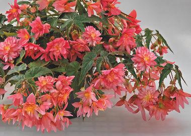 Begonia Funky Pink Earley Ornamentals
