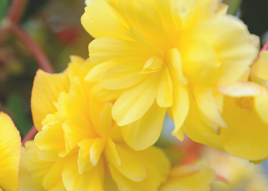 Begonia Illumination Lemon Earley Ornamentals