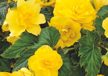 Begonia Nonstop Joy Yellow Earley Ornamentals