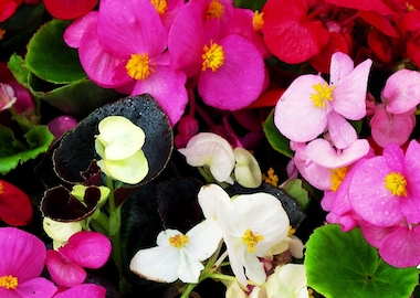 Begonia President Mix Earley Ornamentals