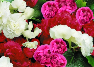 Begonia Queen Mix Earley Ornamentals