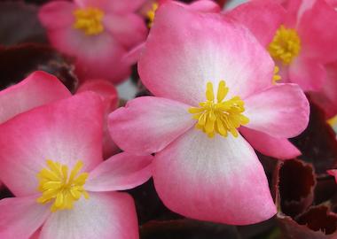 Begonia Senator IQ Earley Ornamentals