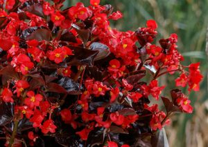Begonia Viking Red on Chocolate Earley Ornamentals