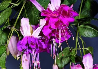 Fuchsia Bella Rosella Earley