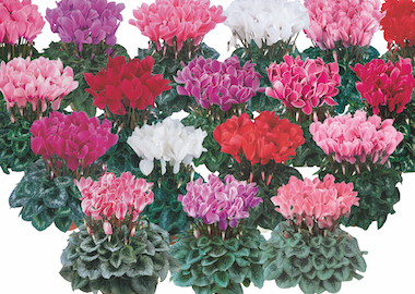 Cyclamen Halios Mix Earley Ornamentals