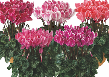Cyclamen Metis Flame Mix Earley Ornamentals