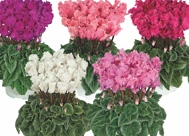 Cyclamen Metis PomPom Mix Earley Ornamentals