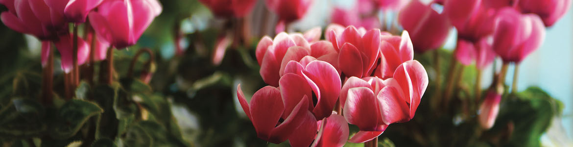 Cyclamen Smartiz Fantasia Mix Earley Ornamentals