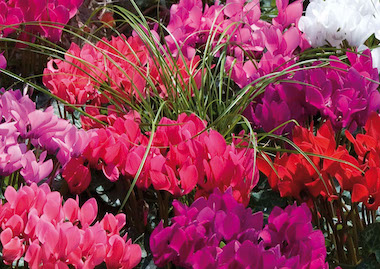 Cyclamen Smartiz Mix Earley Ornamentals