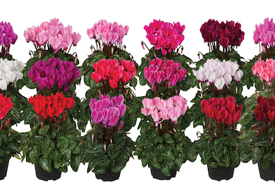 Cyclamen Super serie Verano Earley Ornamentals