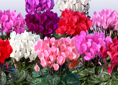 Cyclamen Super Serie Mini Winter Earley Ornamentals