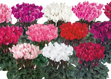 Cyclamen Tianis Earley Ornamentals