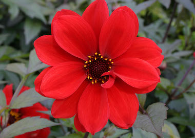 Dahlia Bishop of Llandaff Earley Ornamentals