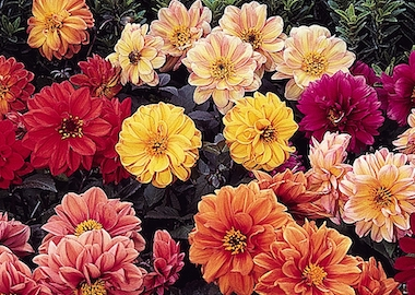 Dahlia Diablo Mix Earley Ornamentals