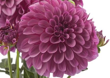 Dahlia LaBella Grande Dark Pink Earley Ornamentals