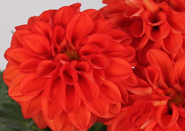 Dahlia Labella Grande Deep Orange Earley Ornamentals