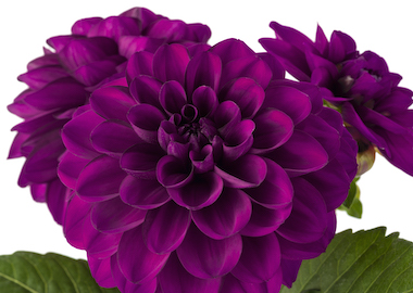 Dahlia Labella Grande Magenta Earley Ornamentals
