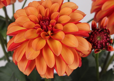Dahlia Labella Grande Orange Bicolor Earley Ornamentals