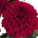 Dahlia Labella Grande Red Earley Ornamentals