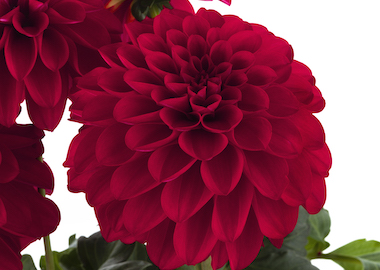 Dahlia Labella Grande Red Earley Ornamentals