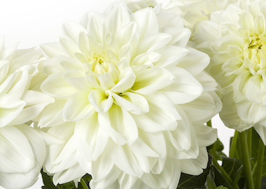 Dahlia Labella Grande White Earley Ornamentals