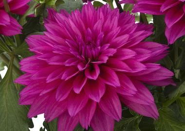 Dahlia Labella Maggiore Deep Rose Earley Ornamentals