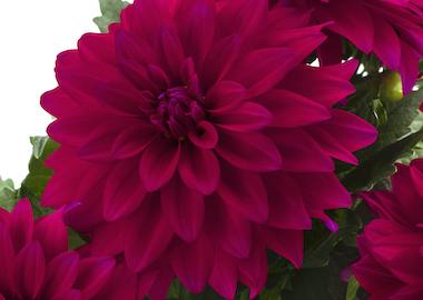 Dahlia Labella Maggiore Purple Earley Ornamentals