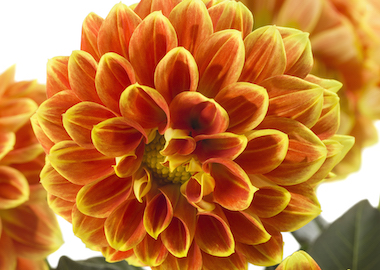 Dahlia Labella Medio Fun Orange Flame Earley Ornamentals