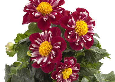 Dahlia Labella Medio Fun Rose Earley Ornamentals
