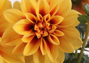 Dahlia Labella Medio Golden Eye Earley Ornamentals
