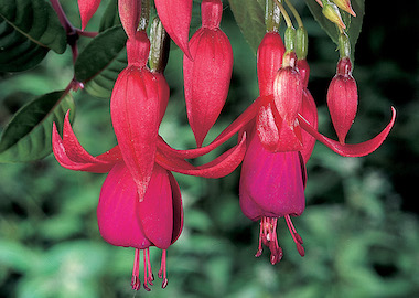 Fuchsia Balcony Queen Earley