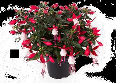 Fuchsia Bella Evita Earley Ornamentals
