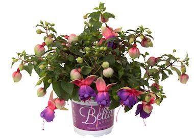 Fuchsia Bella Faya Earley Ornamentals